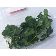 食べられる四つ葉のクローバー 生の葉っぱ エディブルフラワー/幸運が訪れる/フレッシュ