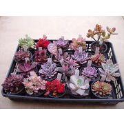 紅葉多肉植物 この時期だけの紅葉多肉植物だけを集めた限定販売商品