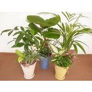 パステルストライプ寄せ皿付 ミニ観葉植物/観葉植物/モダン/インテリア/寄せ植え/ガーデニング