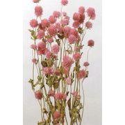 大地農園 「プリザーブドフラワー・ドライフラワー・造花」 千日紅 ピンク