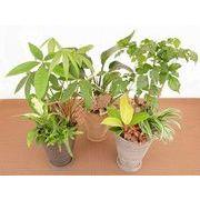 ストライプウェア寄せ皿付 ミニ観葉植物/観葉植物/モダン/インテリア/寄せ植え/ガーデニング