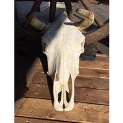COW SKULL - MEXICO91