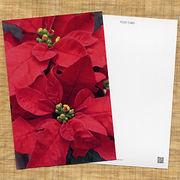 花のポストカード ポインセチア