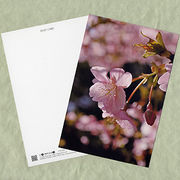 花のポストカード サクラ(ピンク)2