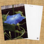 花のポストカード アサガオ