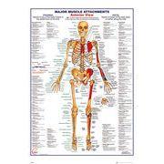 ポスター Human Body