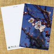 花のポストカード ウメ