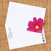 花のポストカード コスモス(ピンク、インクジェット紙)