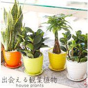 観葉植物 ペペロミア サンセベリア パキラ インテリア 店舗ディスプレー